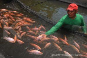 Seorang peternak memanen ikan nila air tawar di Cepokosawit, Sawit, Boyolali, Jawa Tengah, Rabu (20/3/2019). Kementerian Kelautan dan Perikanan (KKP) menyalurkan bantuan benih ikan lele sebanyak 300.000 ekor, 100.000 ekor benih ikan nila dan 20 ton pakan ikan mandiri kepada sejumlah kelompok peternak ikan yang tersebar di Boyolali agar dapat meningkatkan hasil perikanan budidaya ikan tawar. ANTARA FOTO/Aloysius Jarot Nugroho/ama.